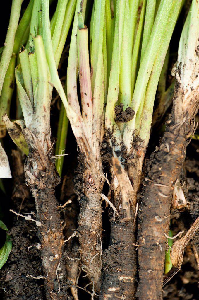 Closeup of Black salsify Scorzonera hispanica : Stock Photo