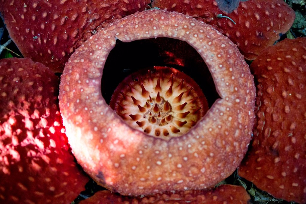 Stock Photo: 1566-1131238 World largest wild flower Rafflesia taken at Gunung Gading National Parks, Lundu, Sarawak, Malaysia.