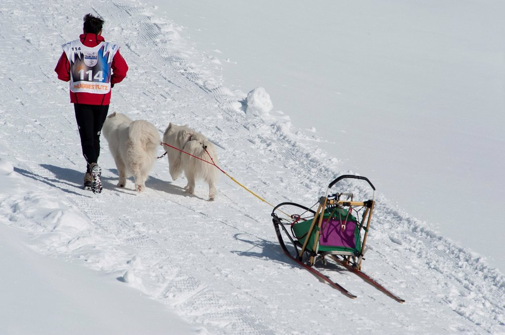 Stock Photo: 1566-1131472 Dog Sled Races, Gadmen, Bernese Oberland, Switzerland, Europe