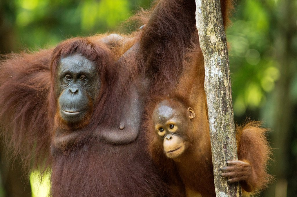 Stock Photo: 1566-1133466 Orangutang