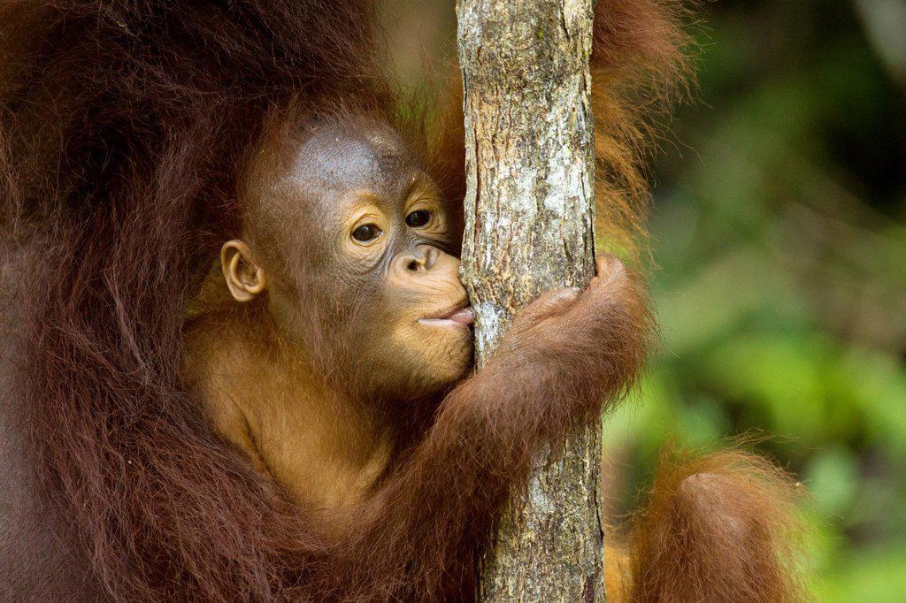 Orangutang : Stock Photo