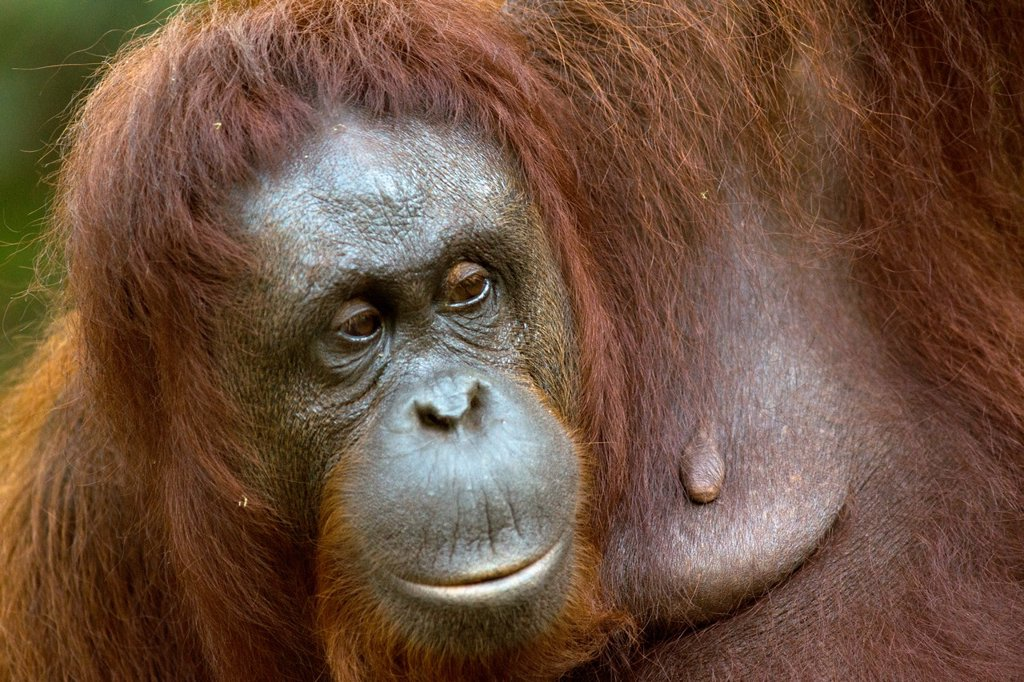 Stock Photo: 1566-1133469 Orangutang