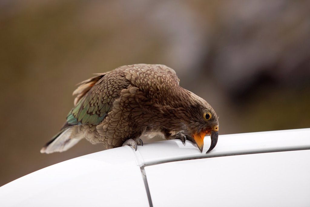 Stock Photo: 1566-1134069 Kea - Nestor notabilis - biting a car, South Island, New Zealand