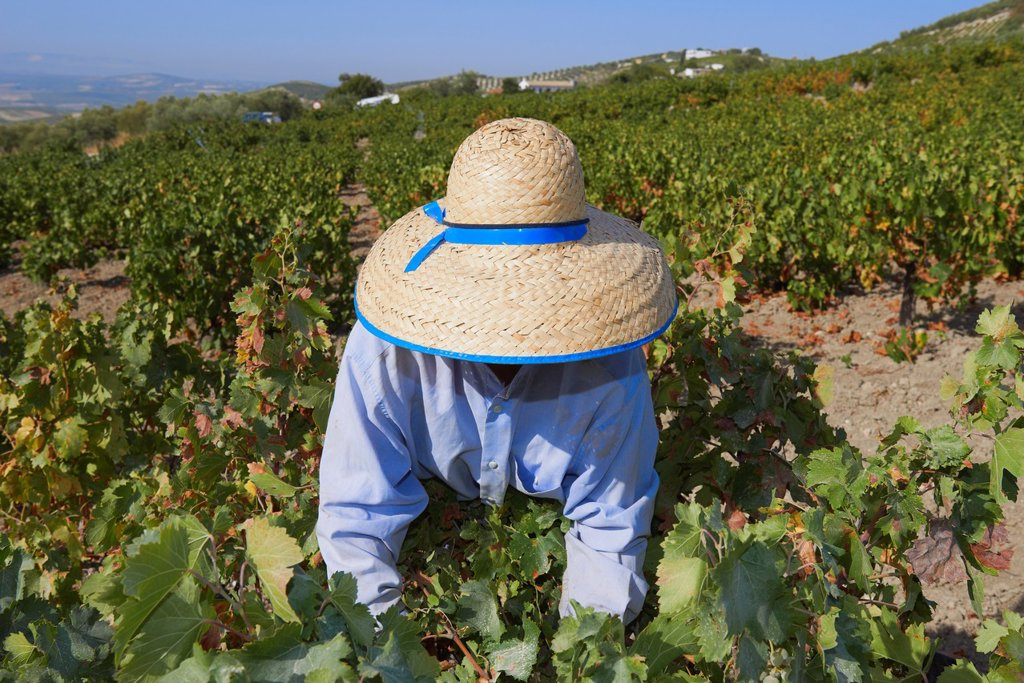 Stock Photo: 1566-1137493 Montilla, Harvesting Pedro Ximenez wine grapes, Vintage in a vineyard in Montilla, Montilla-Moriles area, Cordoba province, Andalusia, Spain