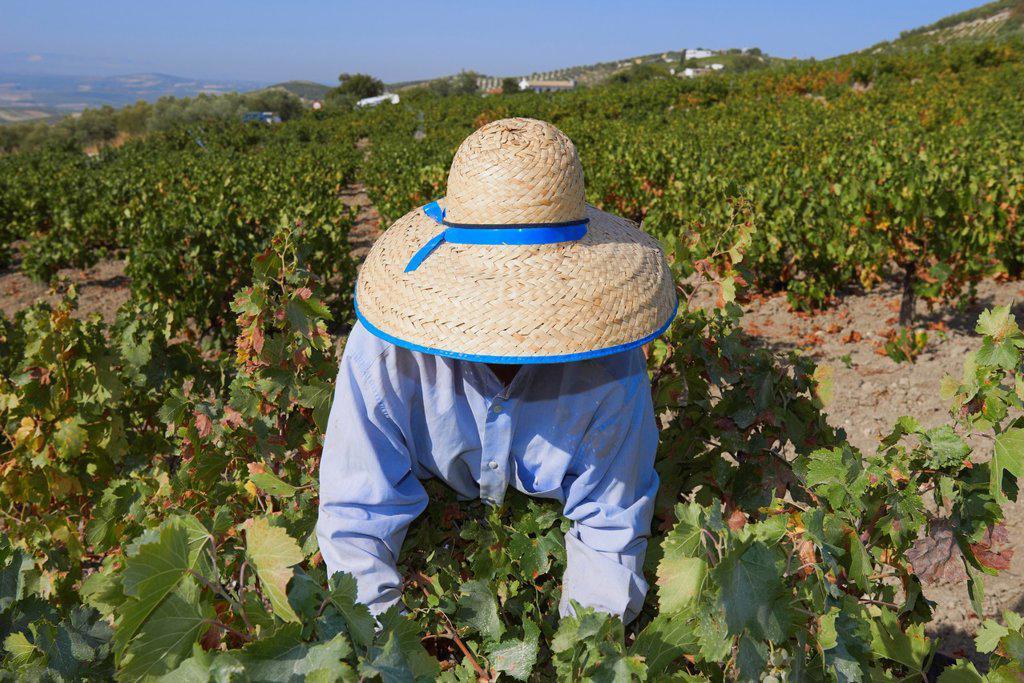 Montilla, Harvesting Pedro Ximenez wine grapes, Vintage in a vineyard in Montilla, Montilla-Moriles area, Cordoba province, Andalusia, Spain : Stock Photo