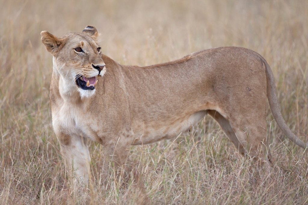 Lioness Panthera leo standing in savannah, Masai Mara, Kenya : Stock Photo