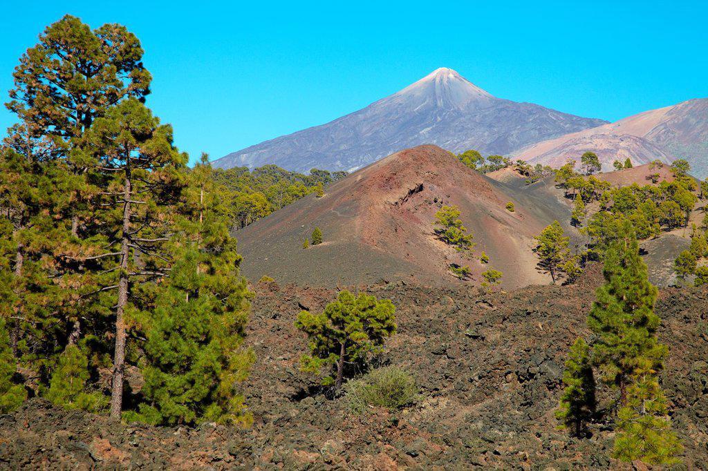 Stock Photo: 1566-1138245 Pinus Canariensis, Pino canario, Pico del Teide, El Teide National Park, Tenerife, Canary Island, Spain