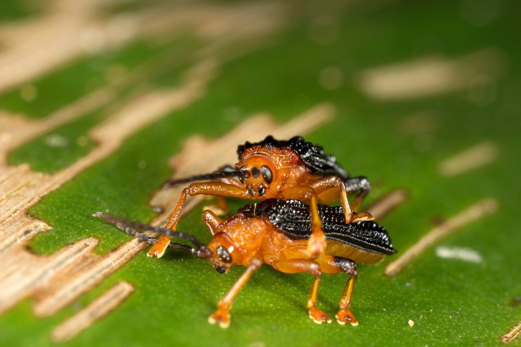 Beetles mating. Image taken at Kampung Satau, Singai, Sarawak, Malaysia. : Stock Photo