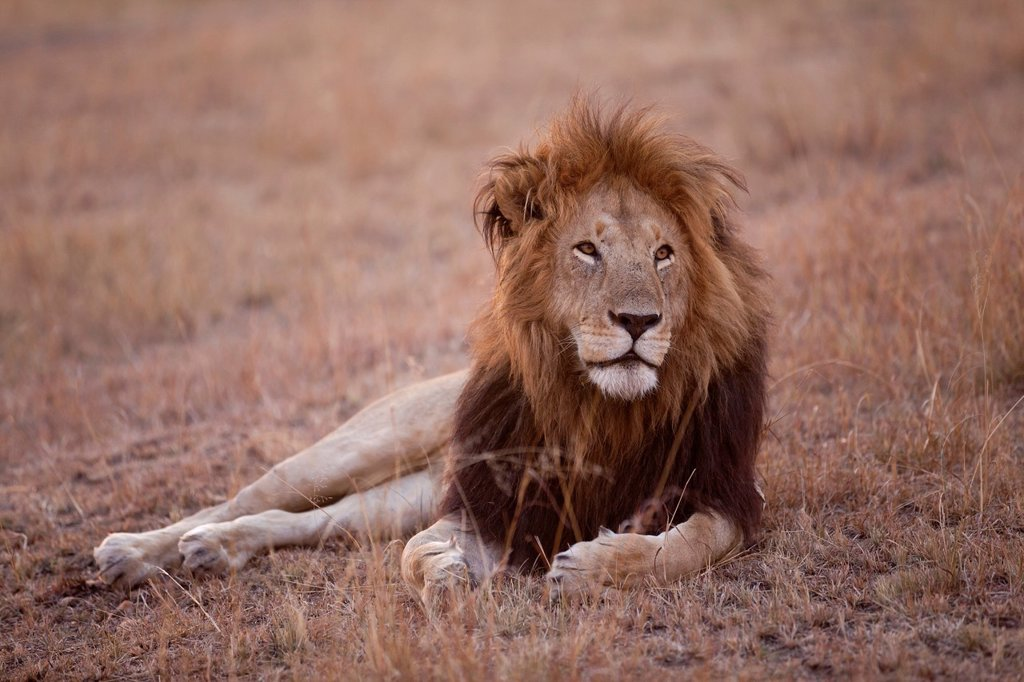 Stock Photo: 1566-1138801 male Lion Panthera leo lying in savannah at dusk, Masai Mara, Kenya