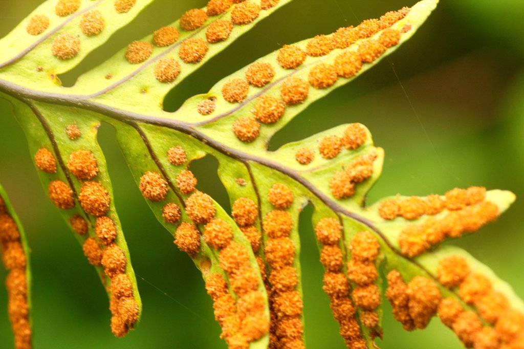 Stock Photo: 1566-1141396 Ferns, Altos de Pipe, Venezuela