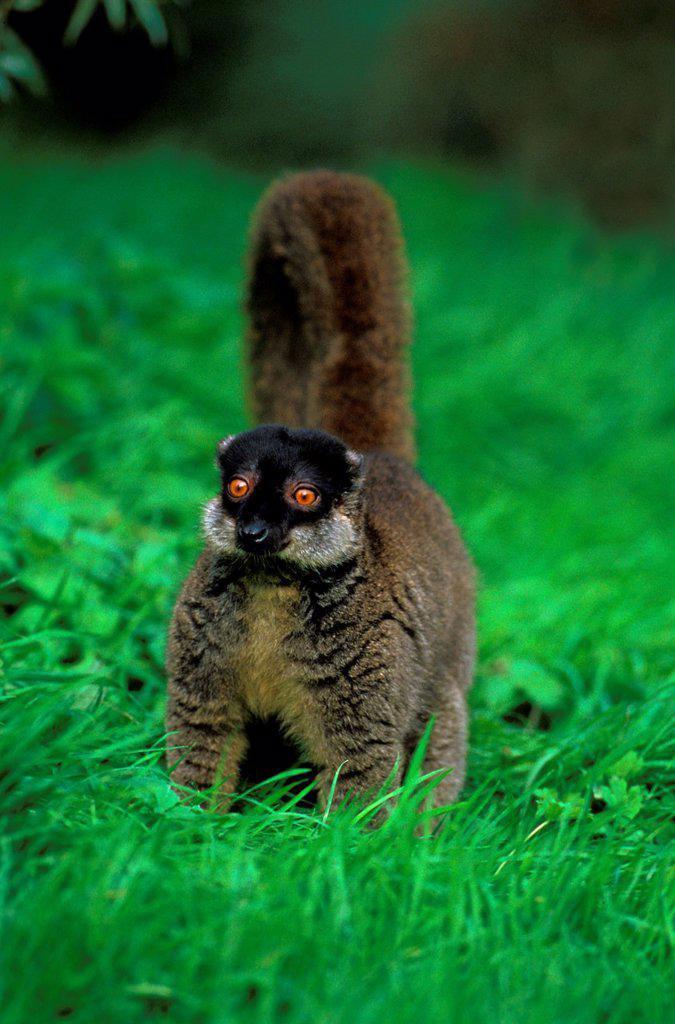 Mayotte Brown Lemur, lemur fulvus mayottensis, Adult standing on Grass : Stock Photo