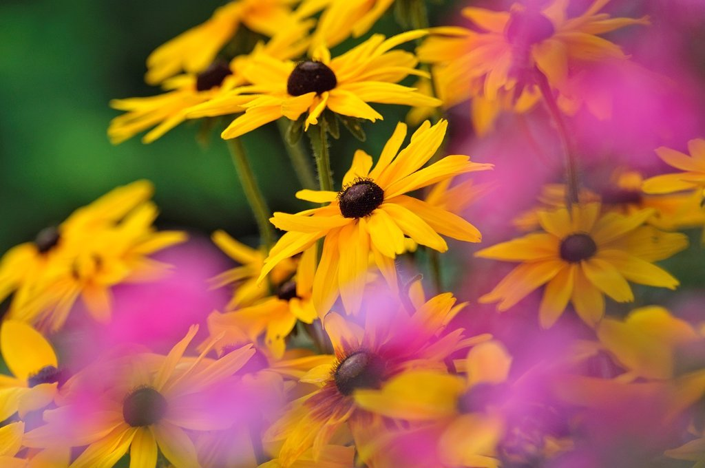 Stock Photo: 1566-1142425 Garden flowers Rudbeckia and Phlox, Greater Sudbury Lively, Ontario, Canada