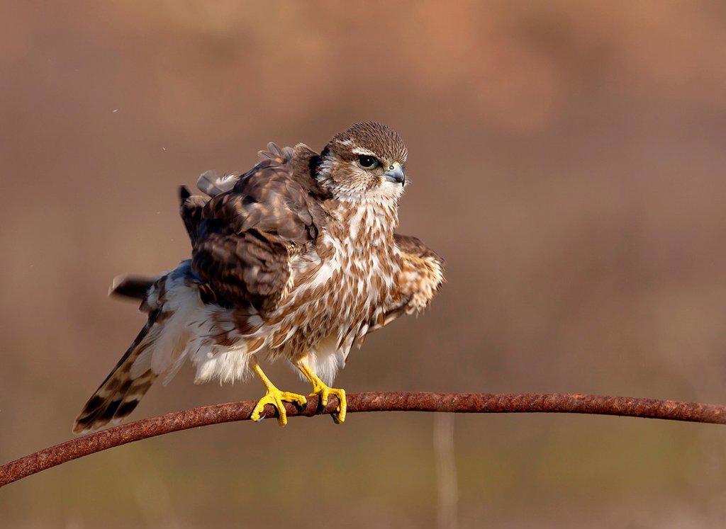 Stock Photo: 1566-1142937 Merlin Falco columbarius shaking, Athens Greece