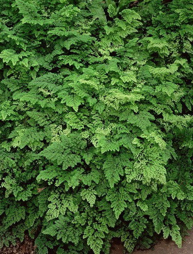 True maidenhair fern Adiantum capillus-veneris : Stock Photo