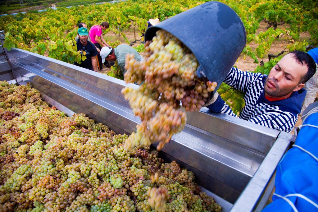Stock Photo: 1566-1143658 Winemaking in the largest wine region of Catalonia, the Penedes  Barcelona, Spain
