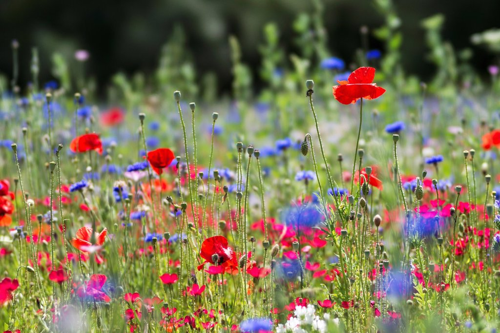 Stock Photo: 1566-1145630 Meadow of blooming wildflowers
