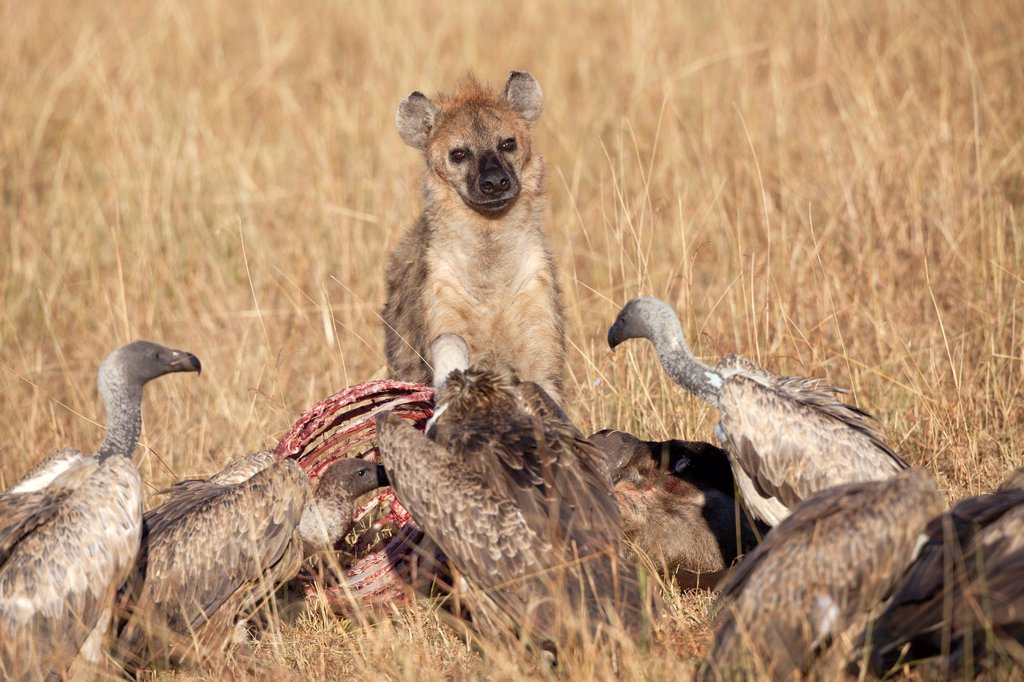 Stock Photo: 1566-1145792 Spotted Hyena Crocuta crocuta and White-backed Vultures Gyps africanus feeding on carcass of wildebeest, Masai Mara, Kenya