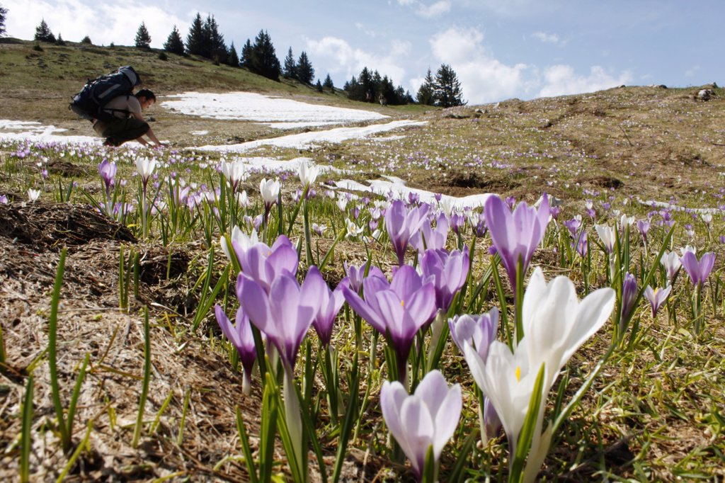 Crocus in Chartreuse, Alps, Isère, Rhône-Alpes, France : Stock Photo