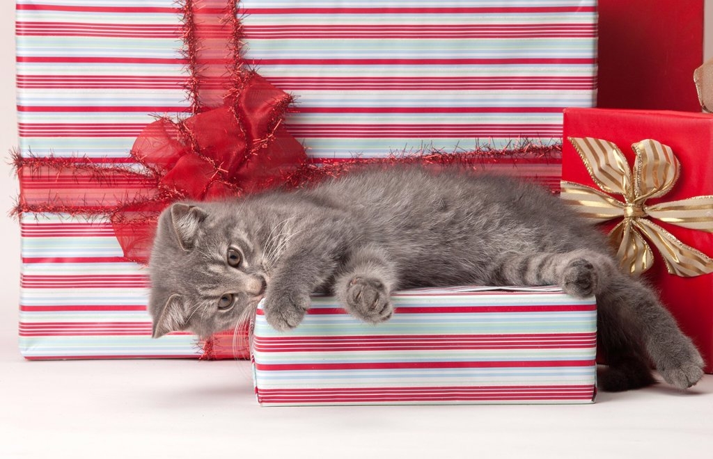 Stock Photo: 1566-1148559 TABBY CAT SITTING ON RED CHRISTMAS PRESENTS