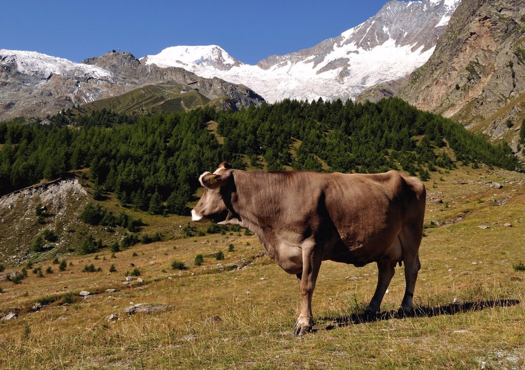 Stock Photo: 1566-1149692 lonely cow, high pastures, Valais Canton, Switzerland