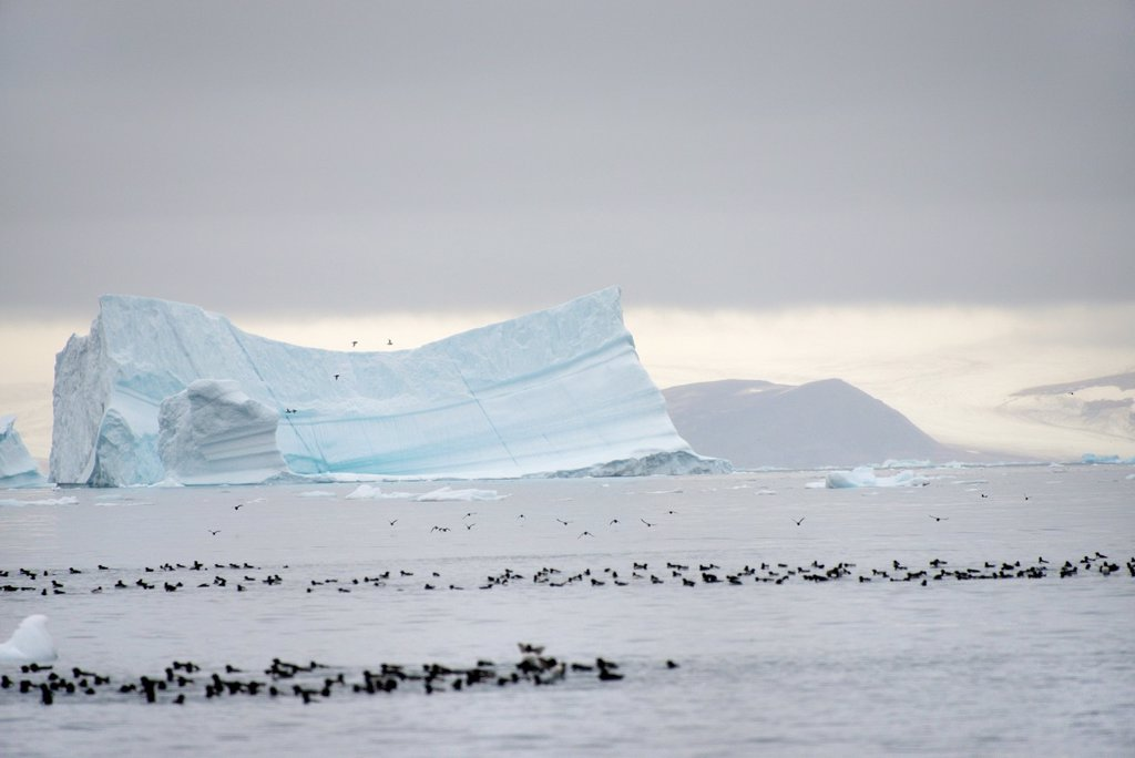 Greenland, Melville Bay, Cape York, Little auks and drifting icebergs : Stock Photo
