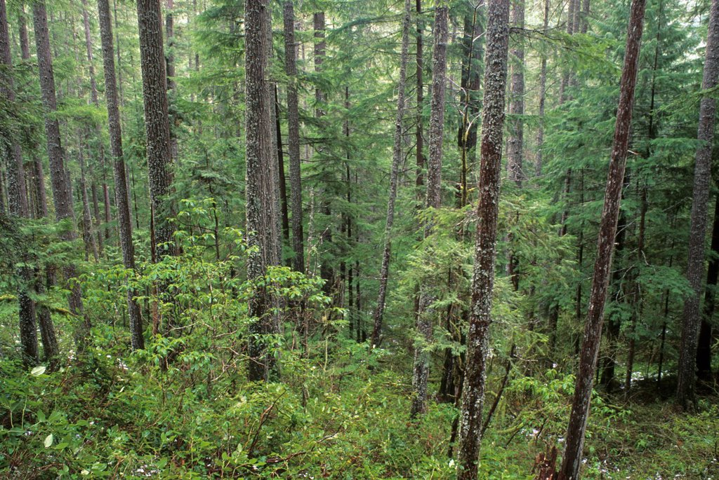 Stock Photo: 1566-1150983 Fir forest on Upper Trestle Creek Trail, Umpqua National Forest, Oregon