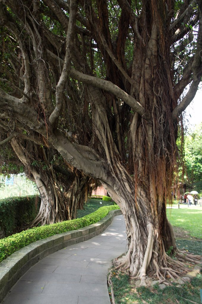 Old tree at Damsui, Taiwan. : Stock Photo
