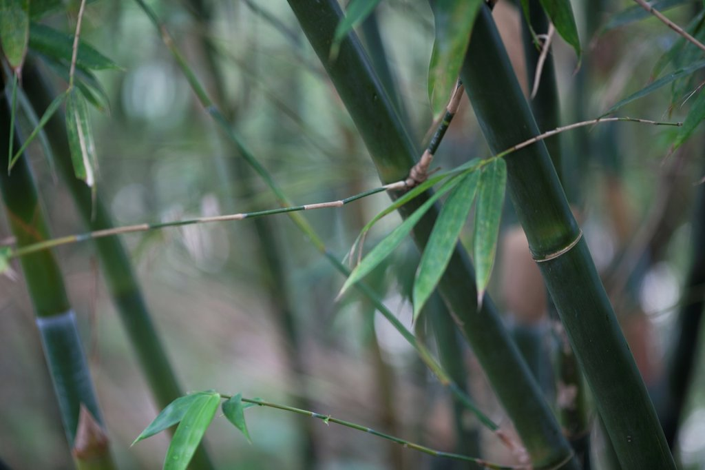 Stock Photo: 1566-1151734 Bamboos. Image taken at Shihfen, Taiwan.