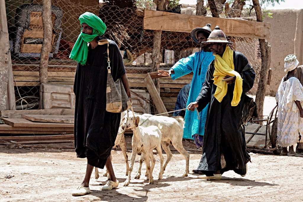 Stock Photo: 1566-1151999 Peul men taking cattle to monday market, Djenne, Mali