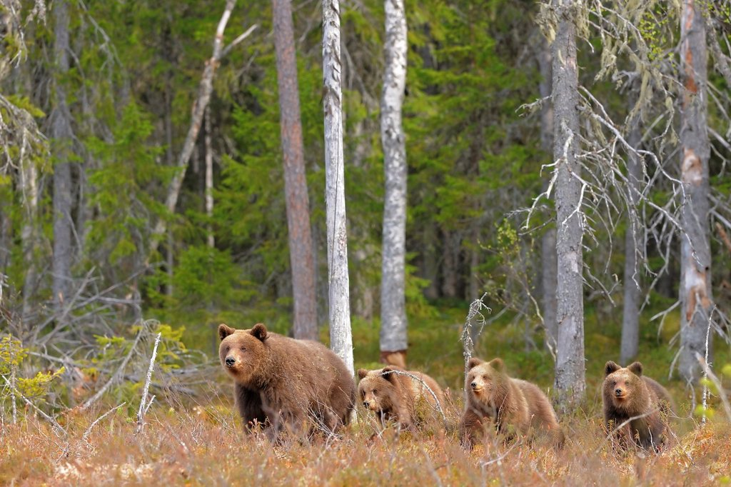 brown bear with cubs, North East Finland : Stock Photo