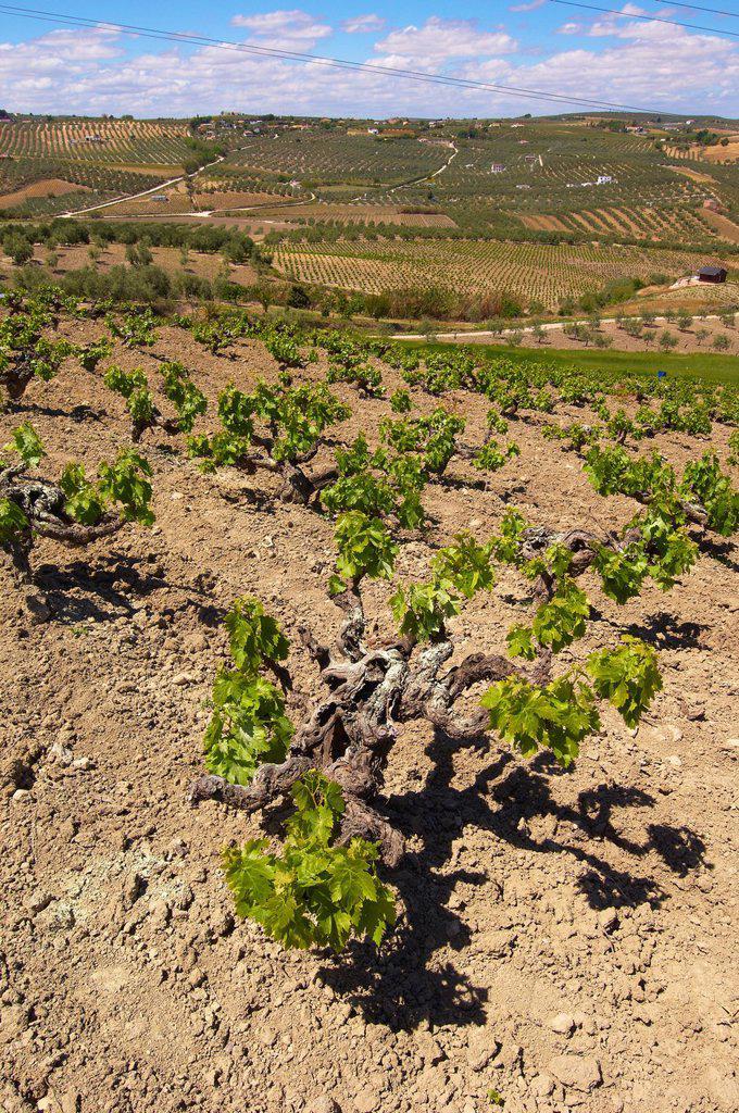 Stock Photo: 1566-1155234 Montilla, vineyards, Montilla-Moriles area, Cordoba, Andalusia, Spain