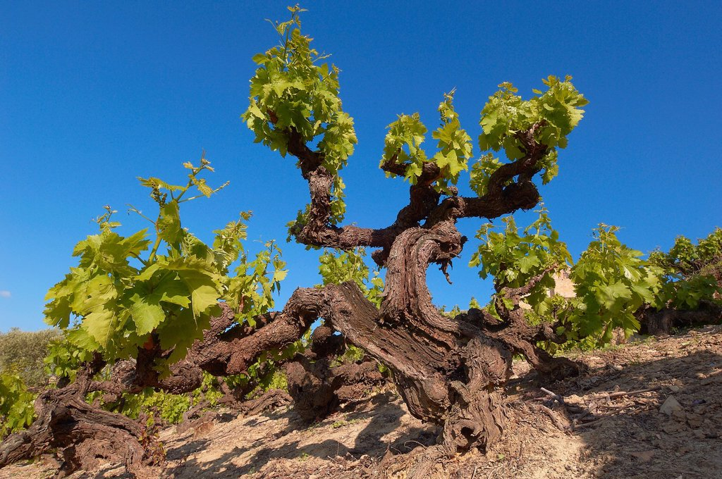 Stock Photo: 1566-1155857 Montilla, vineyards, Montilla-Moriles area, Cordoba, Andalusia, Spain