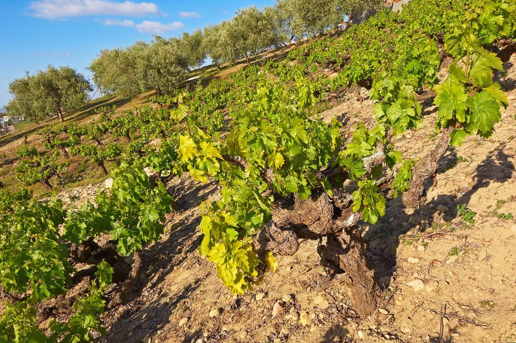 Stock Photo: 1566-1155873 Montilla, vineyards, Montilla-Moriles area, Cordoba, Andalusia, Spain