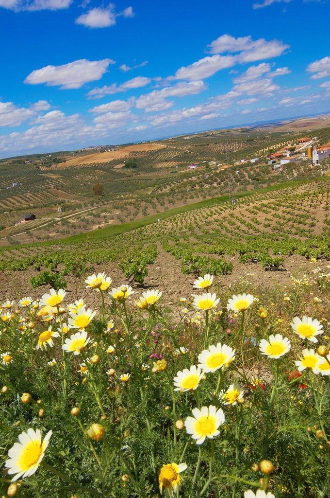 Montilla, vineyards, Montilla-Moriles area, Cordoba, Andalusia, Spain : Stock Photo