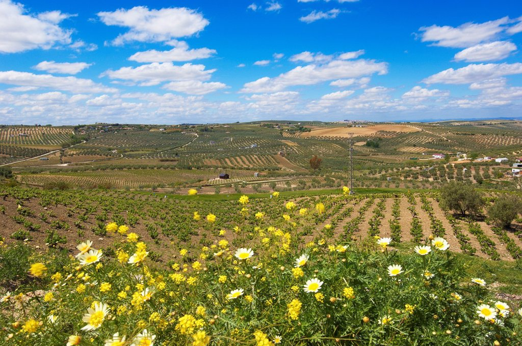 Stock Photo: 1566-1155880 Montilla, vineyards, Montilla-Moriles area, Cordoba, Andalusia, Spain