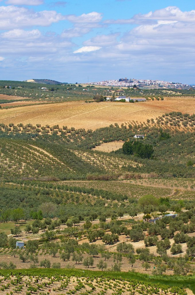 Stock Photo: 1566-1155882 Montilla, vineyards, Montilla-Moriles area, Cordoba, Andalusia, Spain