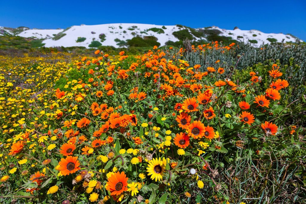 Wildflowers,Postberg Trail, West Coast National Park, Western Cape province, South Africa, Africa : Stock Photo