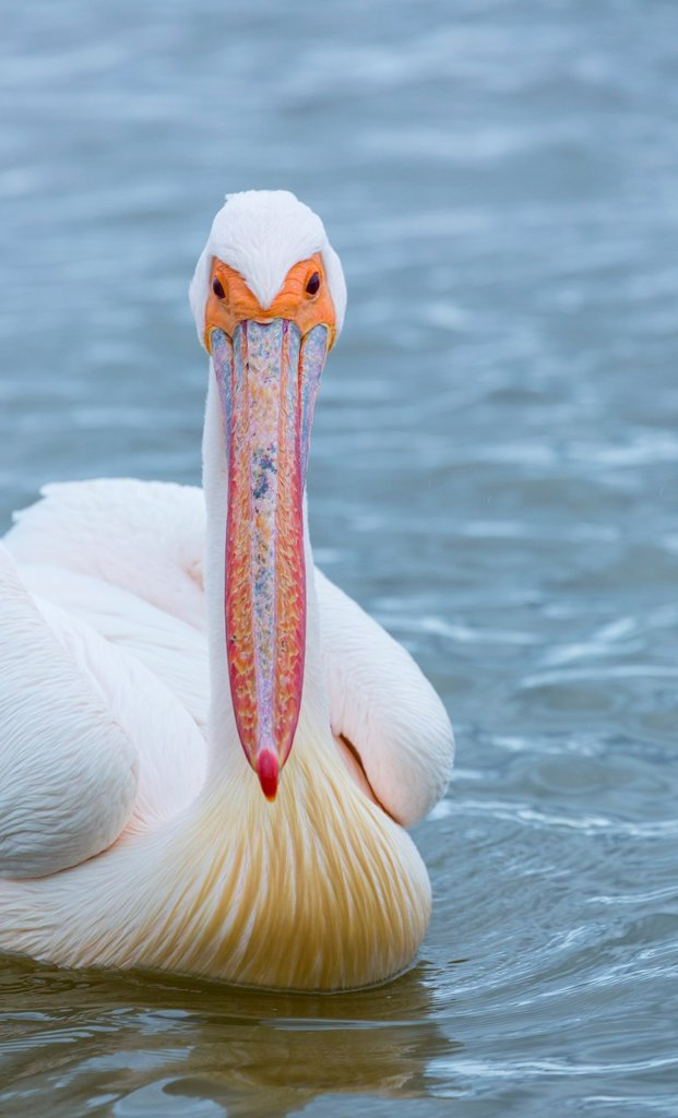 Stock Photo: 1566-1156913 White Pelican, Velddrif Village, Berg River, West Coast Peninsula, Western Cape province, South Africa, Africa