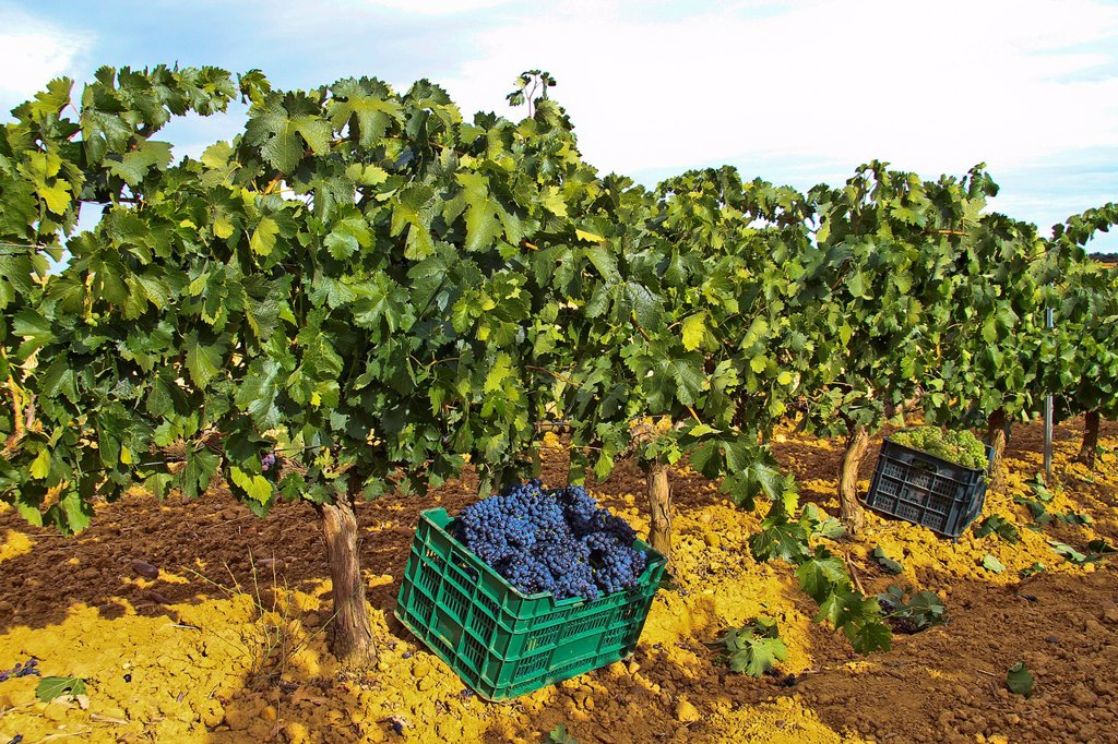 Stock Photo: 1566-1157453 Wine grapes in a box at vineyard Benavente, Zamora, Castile and León, Spain