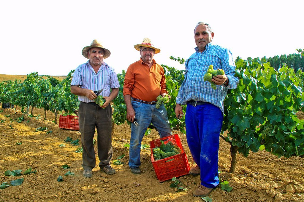 Harvesting grapes in Benavente vineyard, Zamora, Castille and León, Spain : Stock Photo