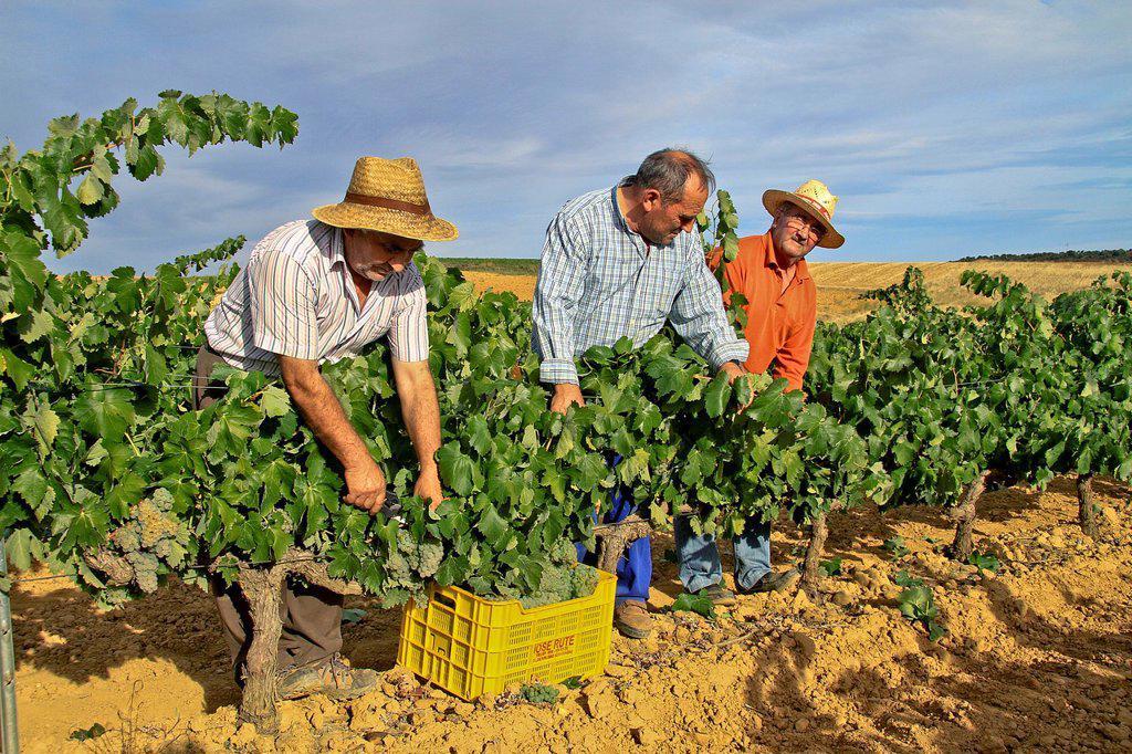 Harvesting grapes in Benavente vineyard, Zamora, Castille and León, Spain : Stock Photo