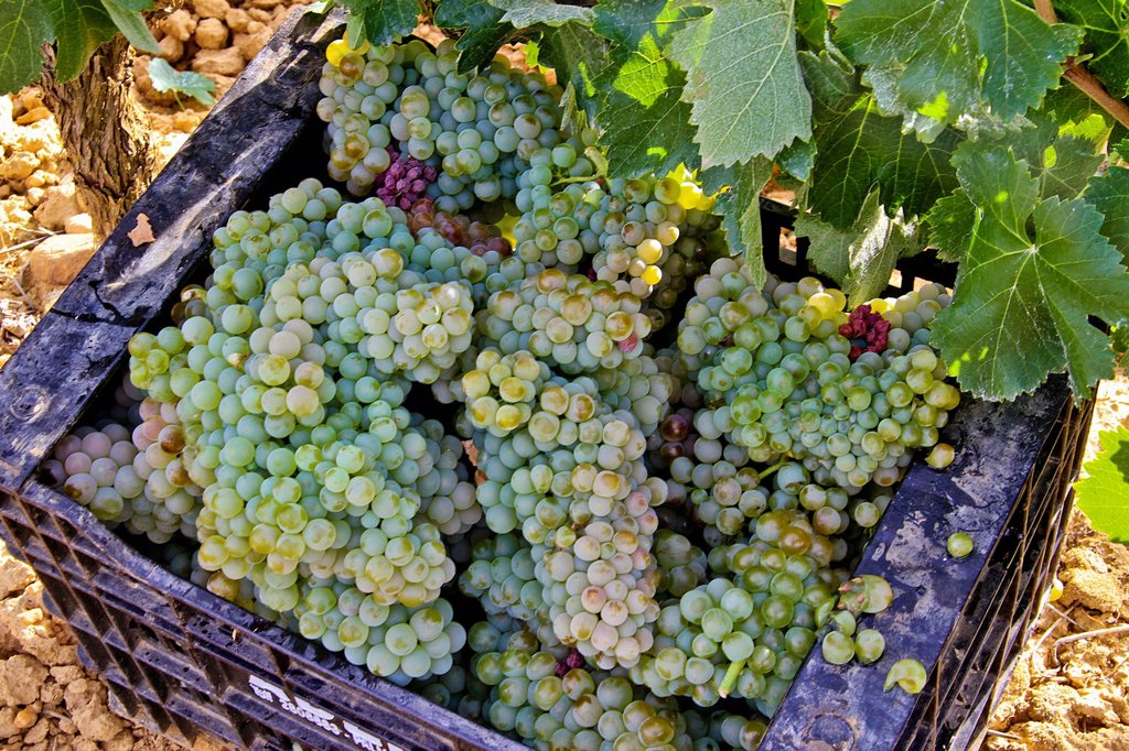Wine grapes in a box at vineyard Benavente, Zamora, Castile and León, Spain : Stock Photo