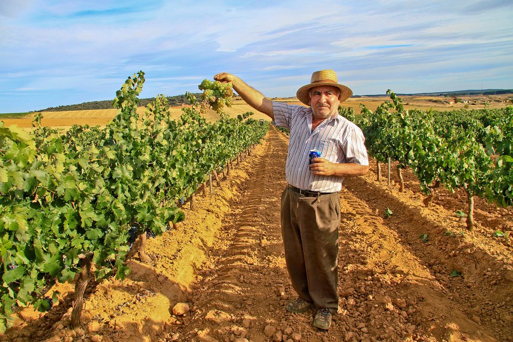Stock Photo: 1566-1157462 Harvesting grapes in Benavente vineyard, Zamora, Castille and León, Spain
