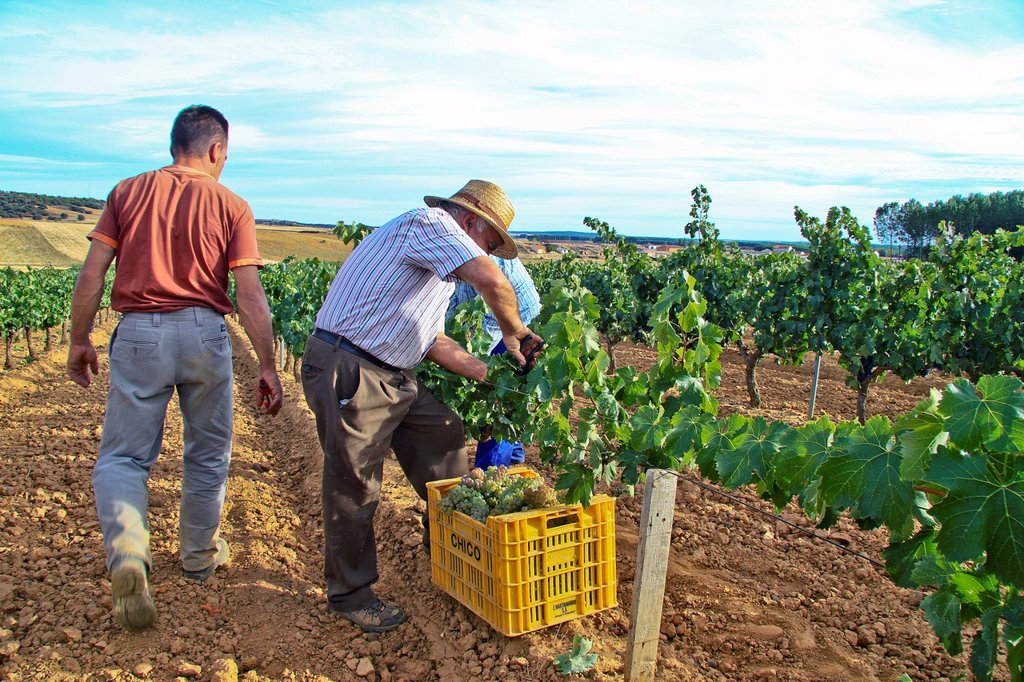Stock Photo: 1566-1157464 Harvesting grapes in Benavente vineyard, Zamora, Castille and León, Spain