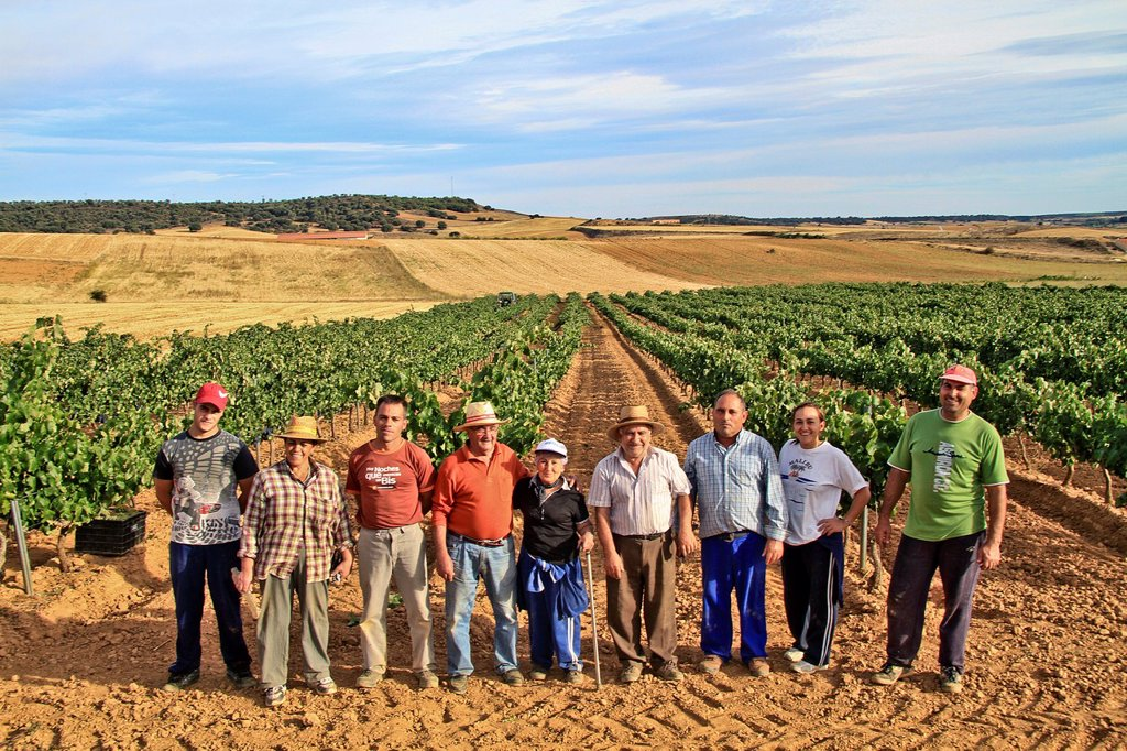 Farmers harvesting grapes in Benavente vineyard, Zamora, Castille and León, Spain : Stock Photo