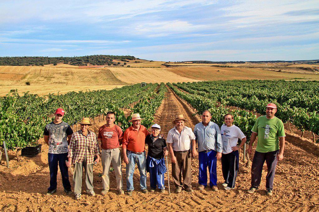 Stock Photo: 1566-1157465 Farmers harvesting grapes in Benavente vineyard, Zamora, Castille and León, Spain