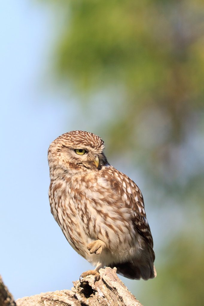 Little Owl Athene noctua perched on branch  Lleida  Catalonia  Spain : Stock Photo