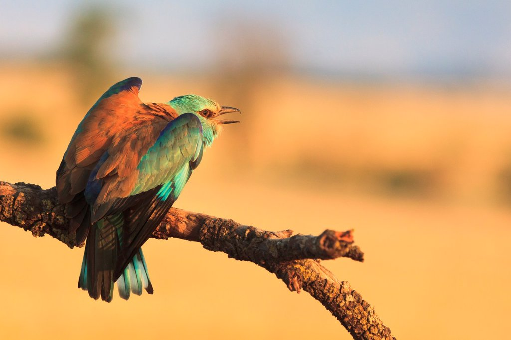 European Roller Coracias garrulus perched on branch and calling  Lleida  Catalonia  Spain : Stock Photo