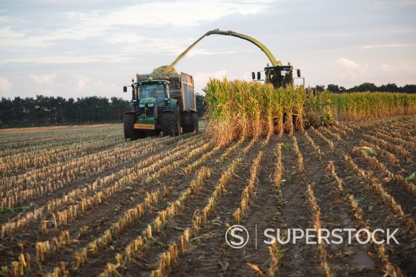 Stock Photo: 1566-1160171 Harvester and trailer farm machinery harvesting sweet corn, Shottisham, Suffolk, England