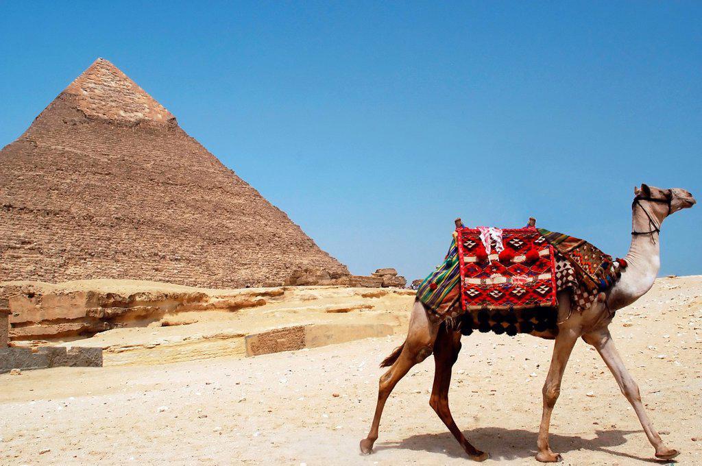 Stock Photo: 1566-1160729 A camel runs away near the iconic Chefren pyramid of Giza, Egypt